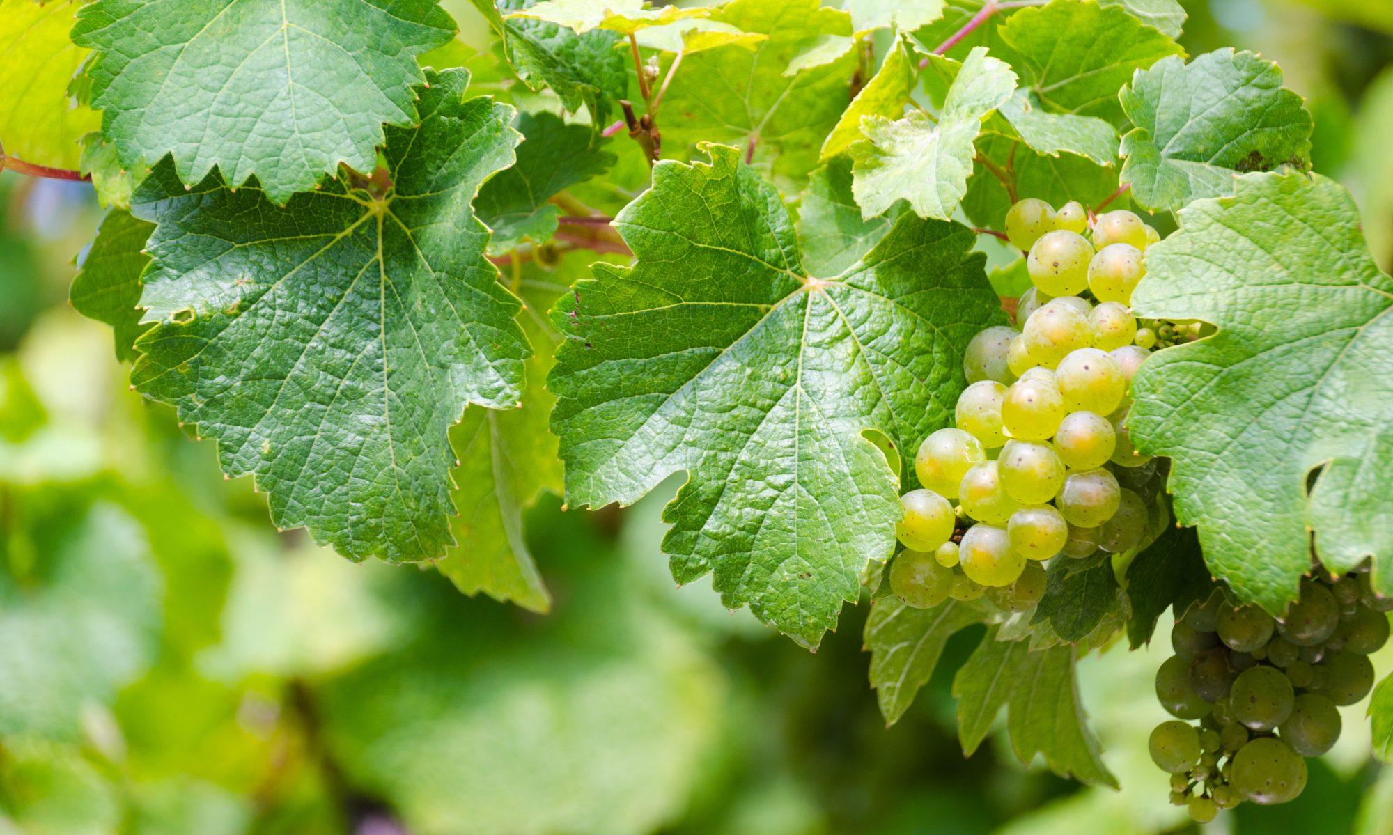 Weißweinlust - Alles über Weißwein